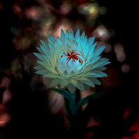 Strawflower No. 6